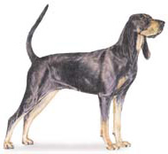 black-and-tan coonhound